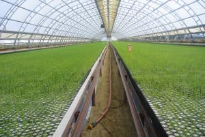Dans cette «Serre 1», 675 000 plants poussent annuellement. (Photo: Jean-Luc Doumont)