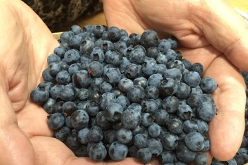 Le bleuet séduit encore et toujours de nombreux gastronomes. (Photo: Jean-Luc Doumont)
